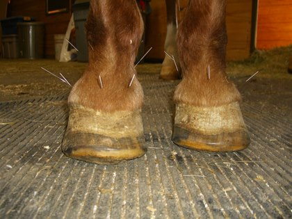 TH-LEGACY-IMAGE-ID-414-acupuncture-for-laminitis