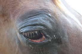 Гноятся глаза у лошади лечение thumbnail