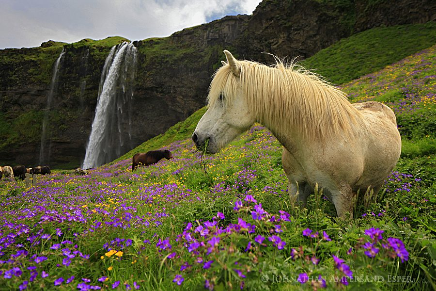 Seljalandsfoss%20and%20Icelandic%20horse%20wildflowers_900px