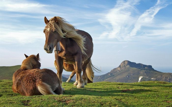 two_icelandic_horses_playing-wide