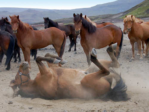 horse_rolling_500