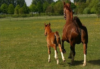 mare%20and%20foal-thumb-350x241-21104-thumb-350x241-21105